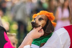 Brown short-haired dachshund with his owners in costume of Karlsson royalty free stock image