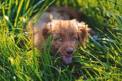 Brown Short Haired Puppy Lying on Green Grass Field during Daytime Stock Images