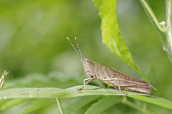 Brown short horn grasshopper Stock Photography