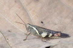 Brown short horn grasshopper Royalty Free Stock Image