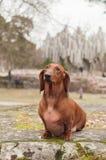 Brown short leg dog sitting on green moss Stock Image