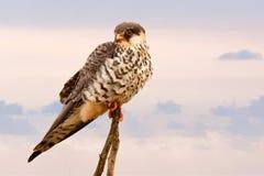 Brown Short Peak Bird Perch on Brown Tree Branch Stock Photo