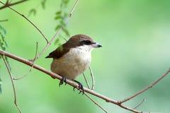 Brown Shrike Stockbild