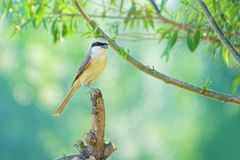 Brown Shrike Fotografia de Stock Royalty Free