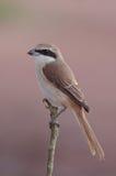 Brown Shrike. Lizenzfreies Stockbild