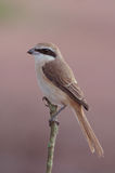 Brown Shrike. Immagine Stock Libera da Diritti