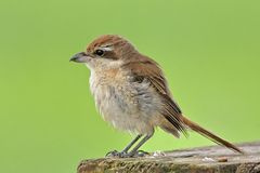 Brown Shrike. Royalty Free Stock Images