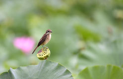 Brown Shrike Arkivfoton