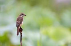 Brown Shrike Royaltyfri Bild