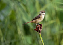 Brown Shrike Royaltyfria Bilder