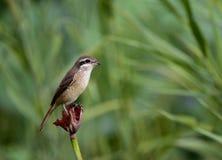 Brown Shrike Royaltyfri Fotografi