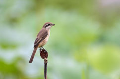 Brown Shrike Fotografie Stock