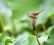 Brown Shrike Royaltyfria Foton