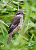 Brown Shrike Lizenzfreies Stockbild