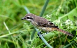 Brown Shrike Fotografering för Bildbyråer