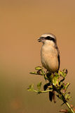 Brown Shrike Stockbilder