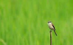 Brown Shrike Foto de Stock Royalty Free
