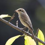 Brown Shrike Photographie stock libre de droits