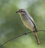 Brown Shrike Image stock