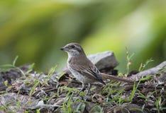 Brown Shrike Images stock