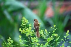 Brown Shrike Lizenzfreies Stockfoto