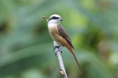 Brown Shrike Lanius cristatus Royalty Free Stock Photography