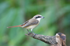 Brown Shrike Lanius cristatus Royalty Free Stock Image