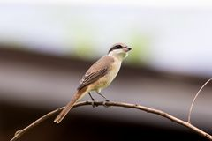 Brown shrike (lanius cristatus). The brown shrike is a bird in the shrike family that is found mainly in Asia. It is closely related to the red-backed stock image