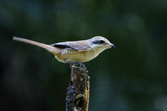Brown Shrike Lanius cristatus Bird of Thailand Stock Photos