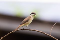 Brown shrike (lanius cristatus). The brown shrike is a bird in the shrike family that is found mainly in Asia. It is closely related to the red-backed stock photography