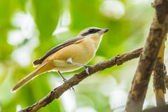 Brown shrike( Lanius cristatus) Stock Image