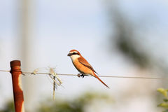 Brown shrike male Stock Image