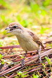 Brown shrike , Scientific name Lanius cristatus Royalty Free Stock Images