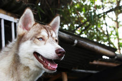 Brown Siberian Husky Stock Photos