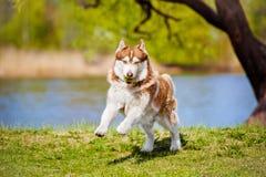 Brown siberian husky dog Stock Photos