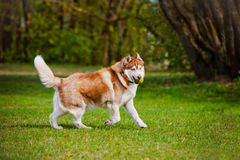 Brown siberian husky dog. Siberian husky dog outdoors in summer Royalty Free Stock Photography