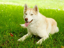 Brown siberian husky lying on the grass Stock Photos