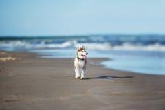 Brown siberian husky puppy on a beach stock photos