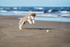 Brown siberian husky szczeniak bawić się na plaży zdjęcie royalty free