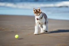 Brown siberian husky szczeniak bawić się na plaży Obrazy Royalty Free