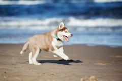 Brown siberian husky szczeniak na plaży Zdjęcie Stock