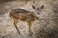 Brown Sika deer Royalty Free Stock Images