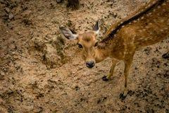 Brown Sika deer Stock Image