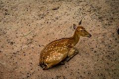 Brown Sika deer Stock Images