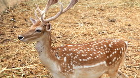 Brown sika deer standing Royalty Free Stock Photos