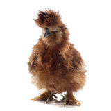 Brown silkie chicken Stock Photo