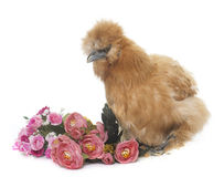 Brown silkie chicken Royalty Free Stock Image