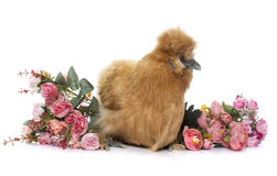 Brown silkie chicken Royalty Free Stock Photography
