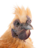 Brown Silkie Stock Photos