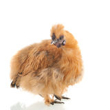 Brown Silkie Stock Images